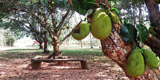Typical jackfruit